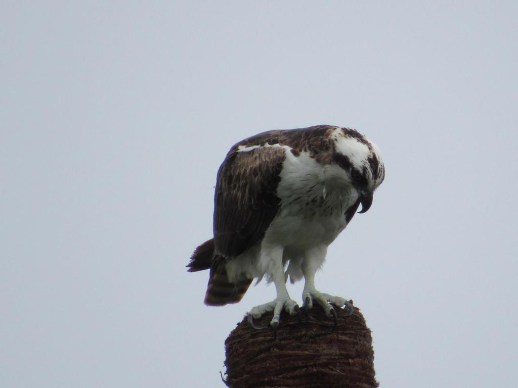 Osprey by mutazoid
