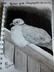 Streptopelia Decaocto - Wild Dove by PurplePastelChalk