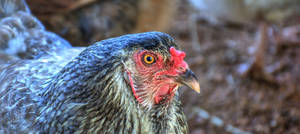 FREE Chicken Stock