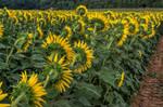 FREE Sunflower Stock