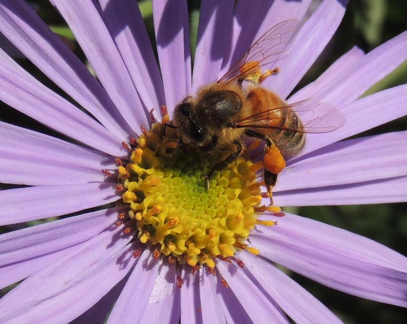 purple bee by T-Thomas