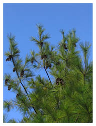 Pine cones by qdave
