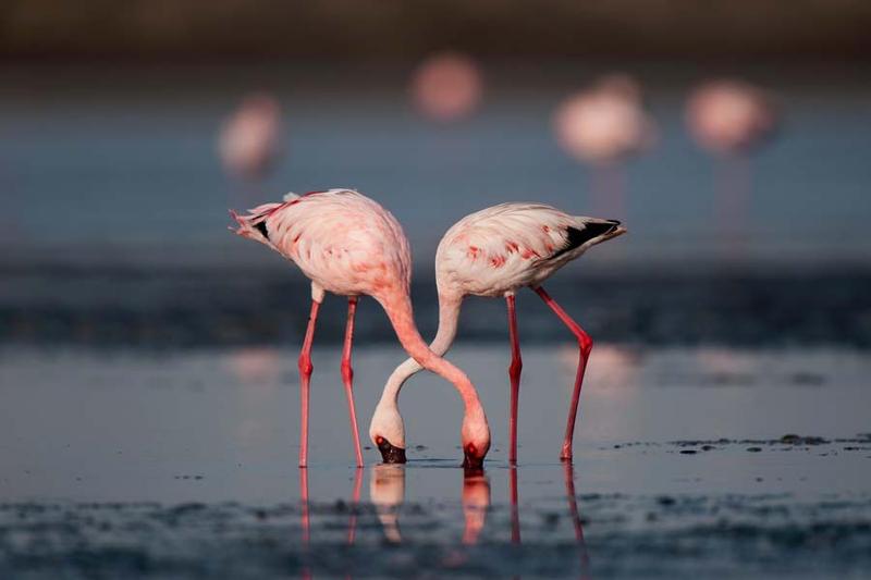 Flamingo Love by k-v-bhat