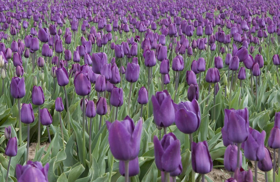 Field of Purple