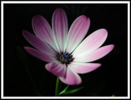 Purple Daisy 1 by dignitarium