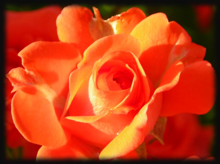 Orange Glory by dignitarium