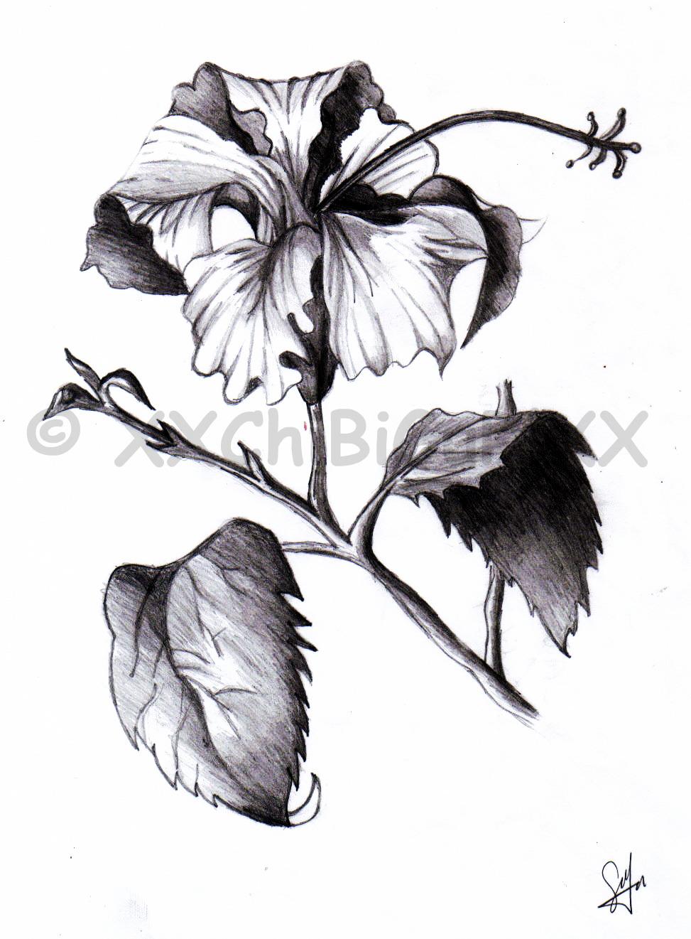 Hibiscus Sketch By Xxchibigurlxx On Deviantart