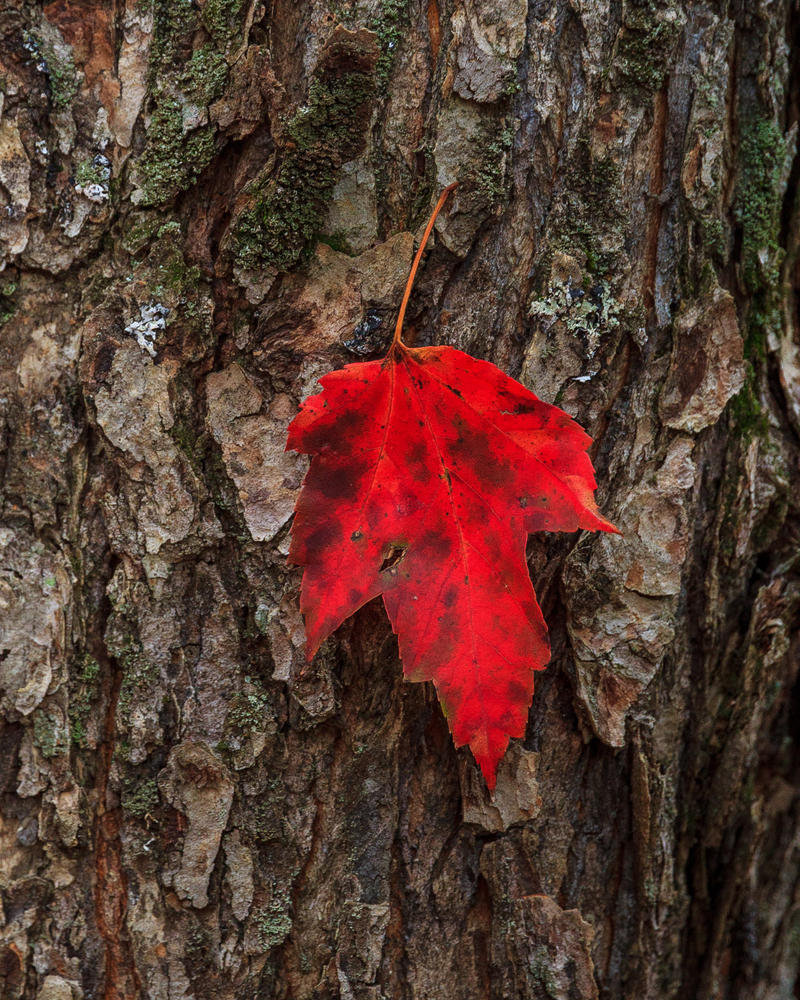 Red Leaf by aaron5153