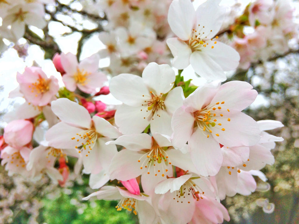 Cherry Blossom by RobyOny