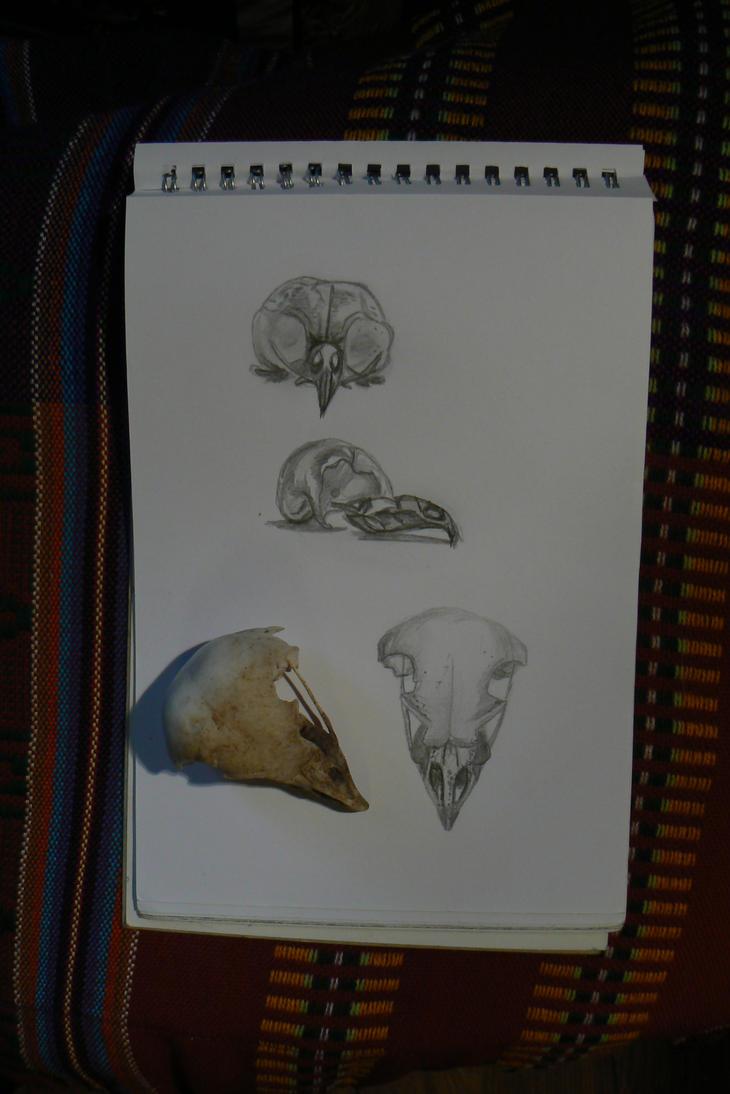 Barn Owl Skull Study by NightPhoenixArt