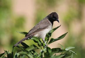 nightingale in morocco
