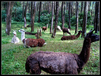 Llama's Big Family by Vermouth19