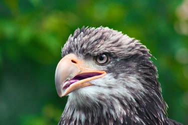 Eagle II by gerryray