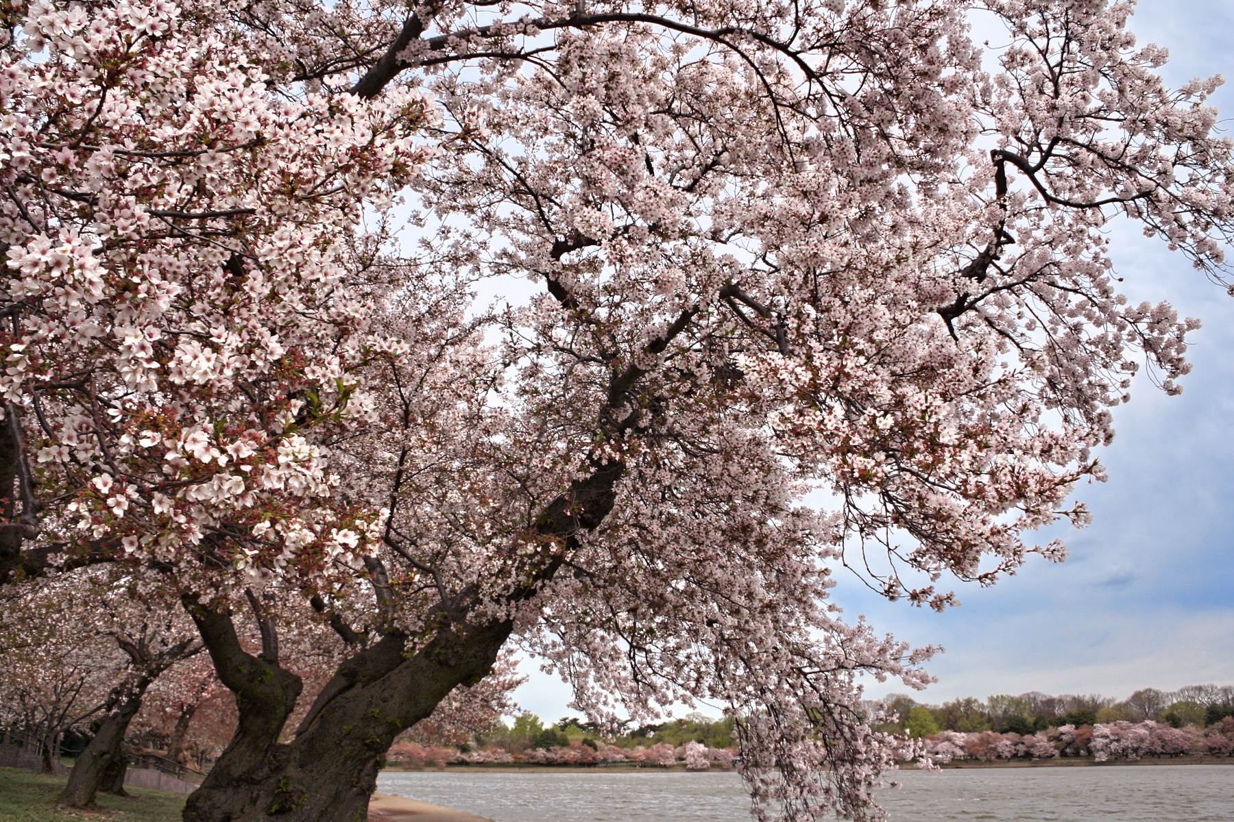 Washington DC Cherry Blossoms by gerryray