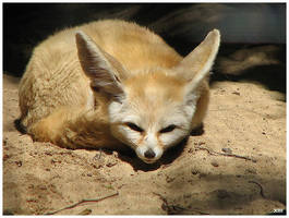 Fennec Fox by The-Number-Thirteen