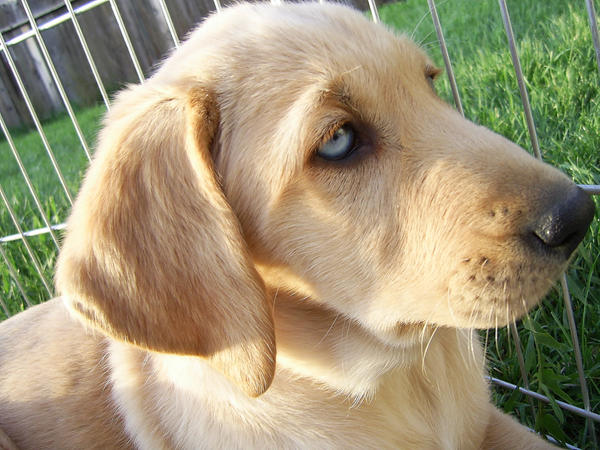 Blue eyed Labrador retreiver by kittysushiiYellow Lab With Blue Eyes