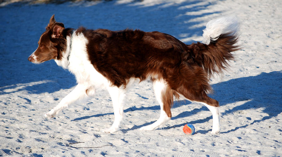 Red Border Collie Dog by CompassLogicStock