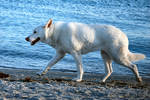 White German Shepherd 2