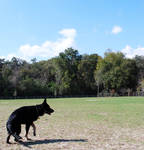 Black Shepherd Turn Pose by CompassLogicStock