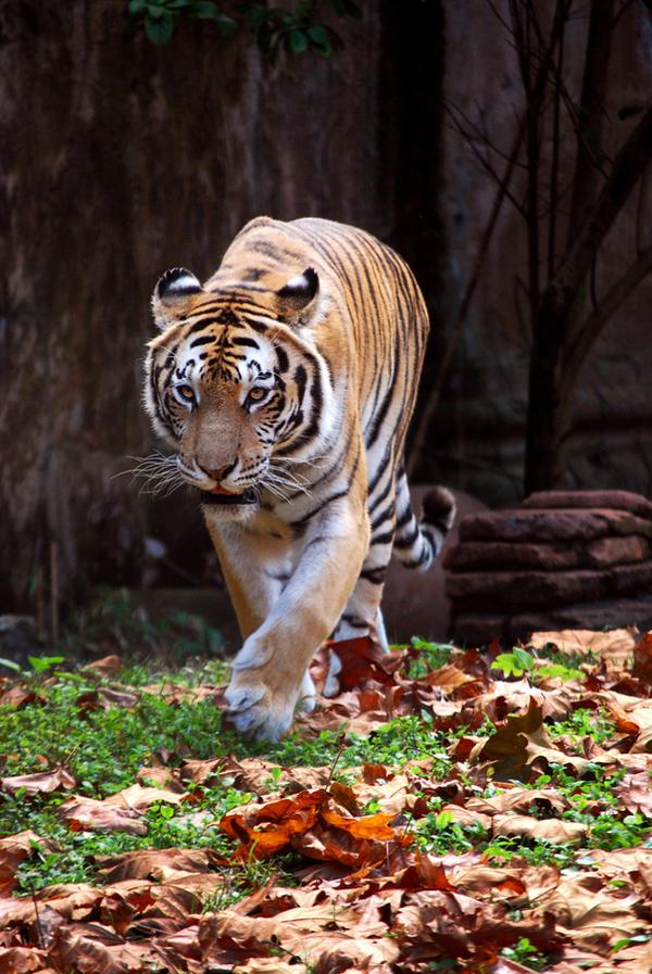 Tiger Walk 2 by CompassLogicStock