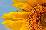 Sunflower with companion