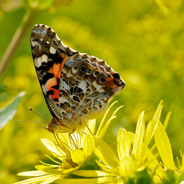 Leptiri - Page 2 Butterfly_by_thankyoujames-d33vrlh