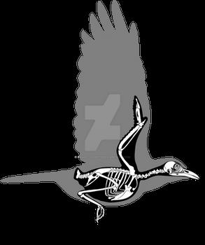 American Crow skeletal diagram