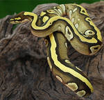 Striking Serpent