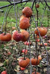 Rotten Apples 2