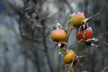 Rose Hips Dusted in Snow