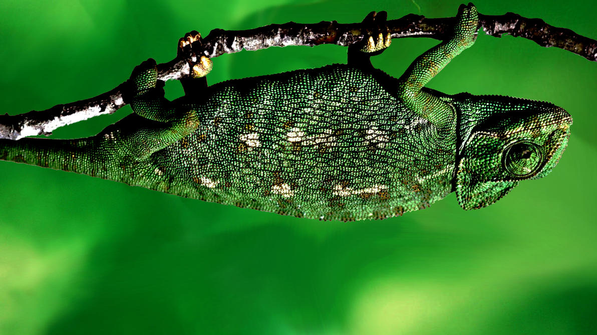 Green chameleon HD Wallpaper > Green chameleon wallpaper , nature green wallpaper