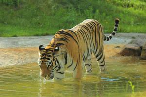 Tiger 1 by landkeks-stock