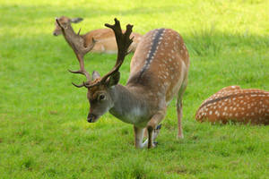 Fallow Deer 2 by landkeks-stock