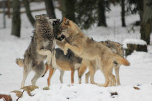 Wolf Pose 3 by landkeks-stock