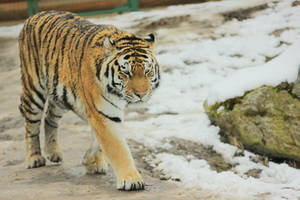 Tiger 4 by landkeks-stock