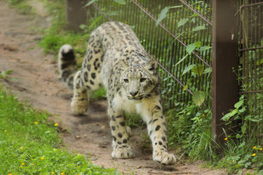 Snow Leopard 1 by landkeks-stock