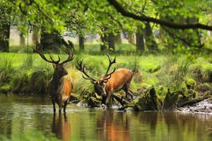 Red Deer 5 by landkeks-stock