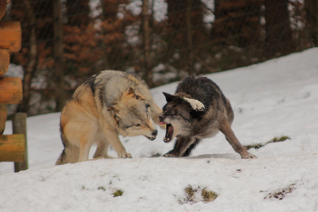 Wolf Pose 7