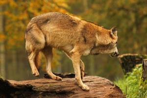 Wolf Pose 8 by landkeks-stock