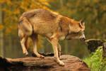 Wolf Pose 8