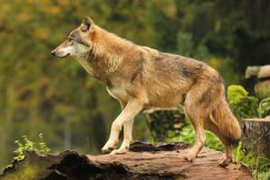 Wolf Pose 9 by landkeks-stock