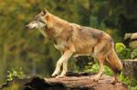 Wolf Pose 9