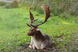 Fallow Deer 3 by landkeks-stock