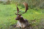 Fallow Deer 3