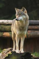 Wolf Pose 10 by landkeks-stock