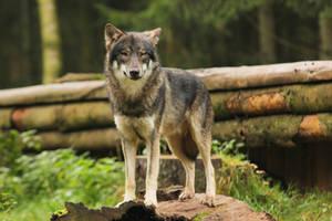 Wolf Pose 11 by landkeks-stock