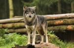 Wolf Pose 11