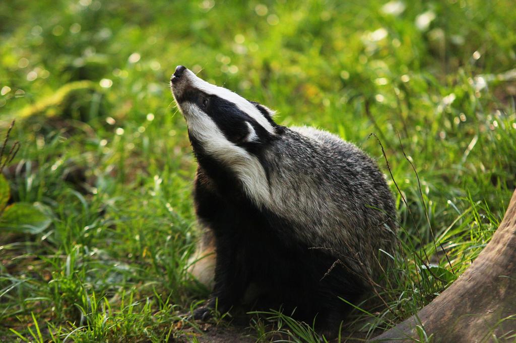 Badger 1 by landkeks-stock