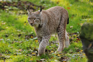 Lynx 2 by landkeks-stock