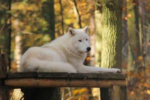 Wolf Pose 14 by landkeks-stock